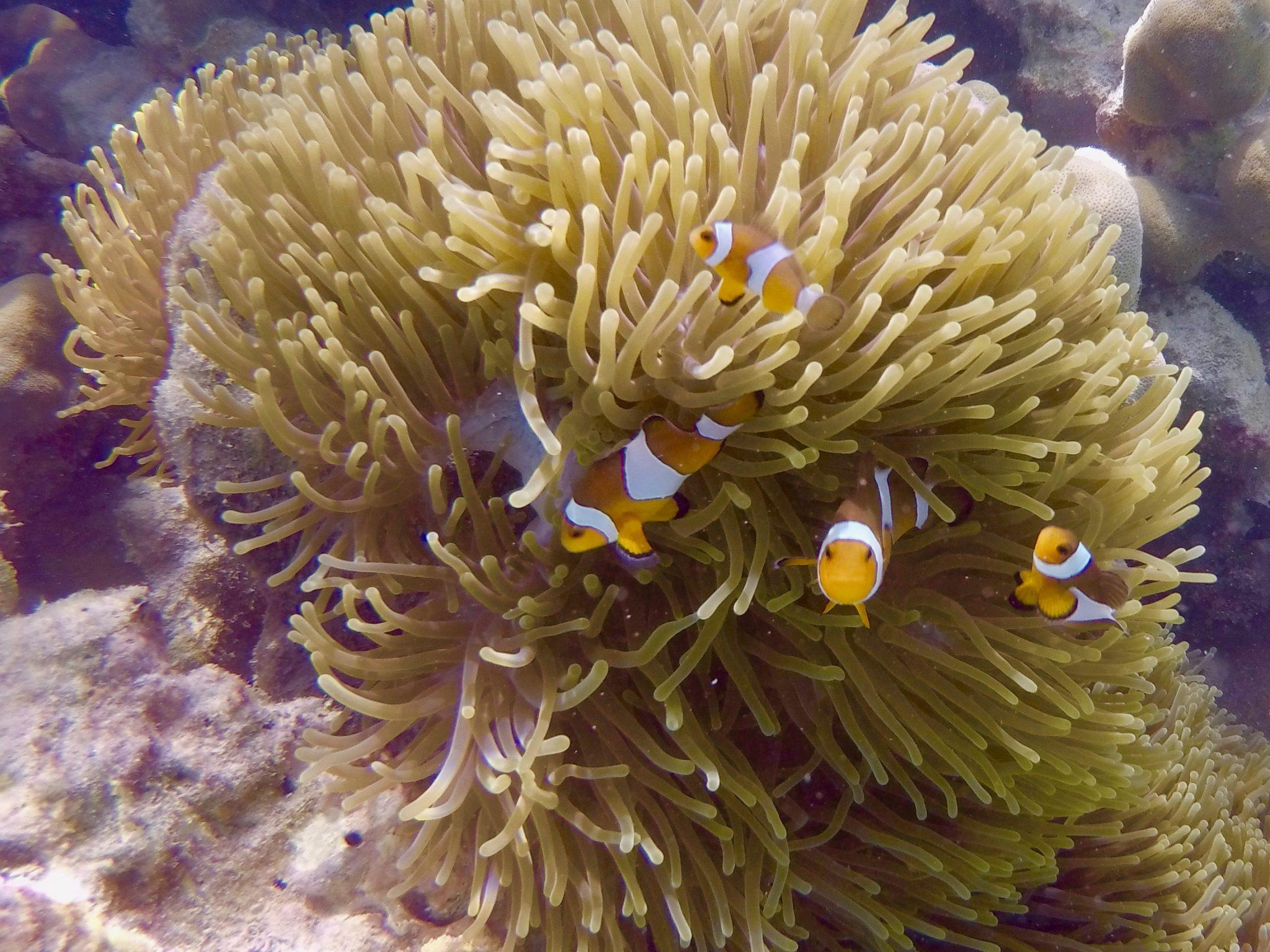 Beim Schnorcheln oder Tauchen in Thailand lassen sich häufig Annemonenfische - Nemos - entdecken! Foto: Sascha Tegtmeyer