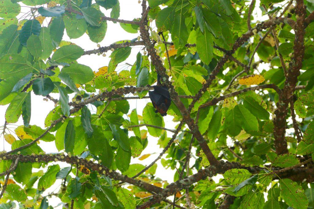 Tierwelt in Thailand: Flughund hängt tagsüber im Baum und schläft. Foto: Sascha Tegtmeyer