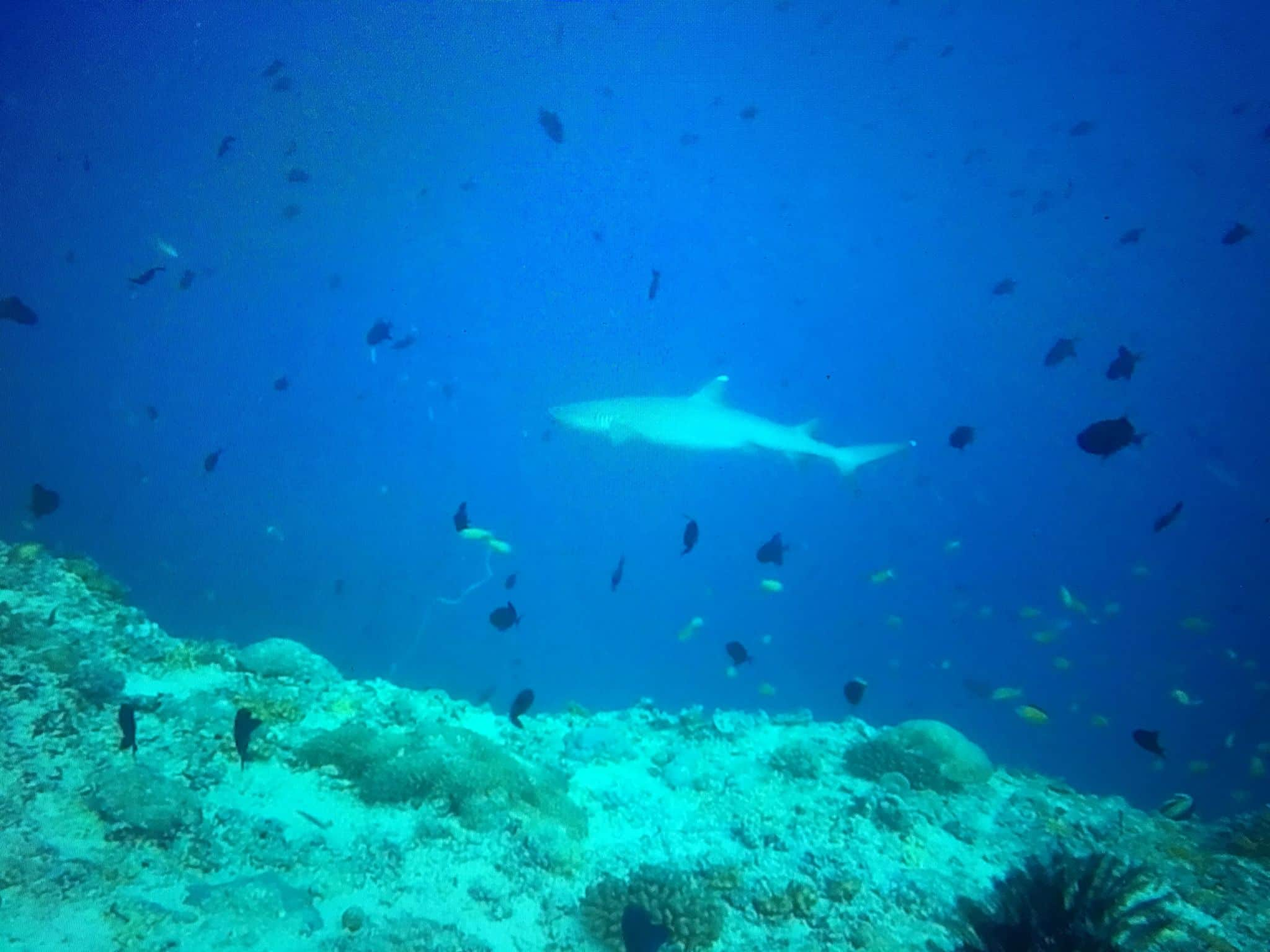Tauchen auf Coco Palm Dhuni Kolhu: Im Baa Atoll kann man vielerorts Haie beobachten. Foto: Sascha Tegtmeyer