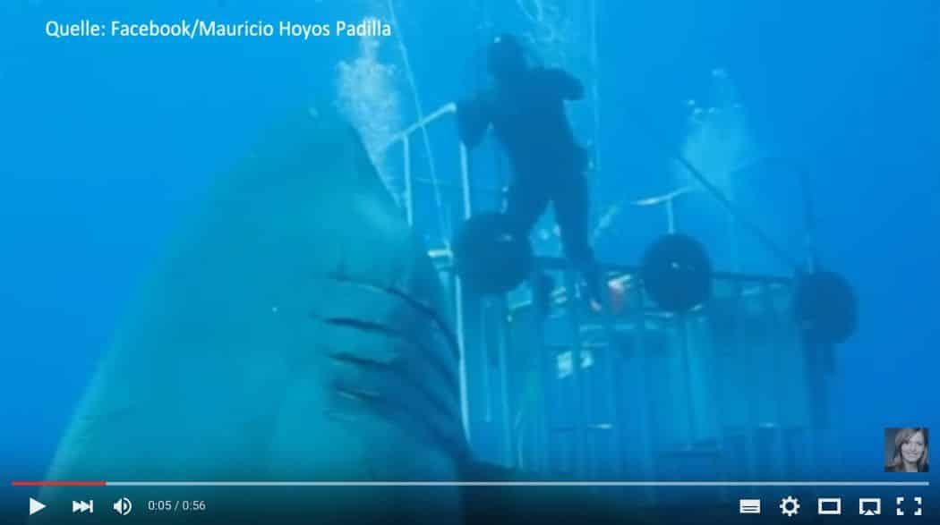 groesster hai der welt In dem spektakulären Video, das an der Isla Guadeloupe in Mexiko entstanden ist, taucht ein großer Weiße Hai an einem Käfig mit fünf Tauchern vorbei, und man erkennt sofort, dass Deep Blue kein gewöhnlicher Weißer Hai ist. Foto: youtube.com