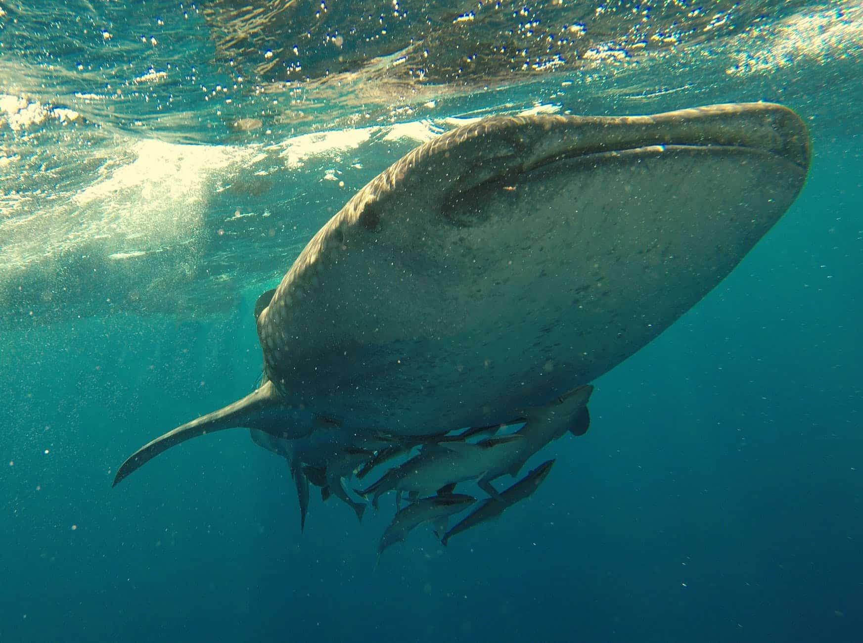 Ein Riese in den Meeren: der Walhai. Foto: Pexels