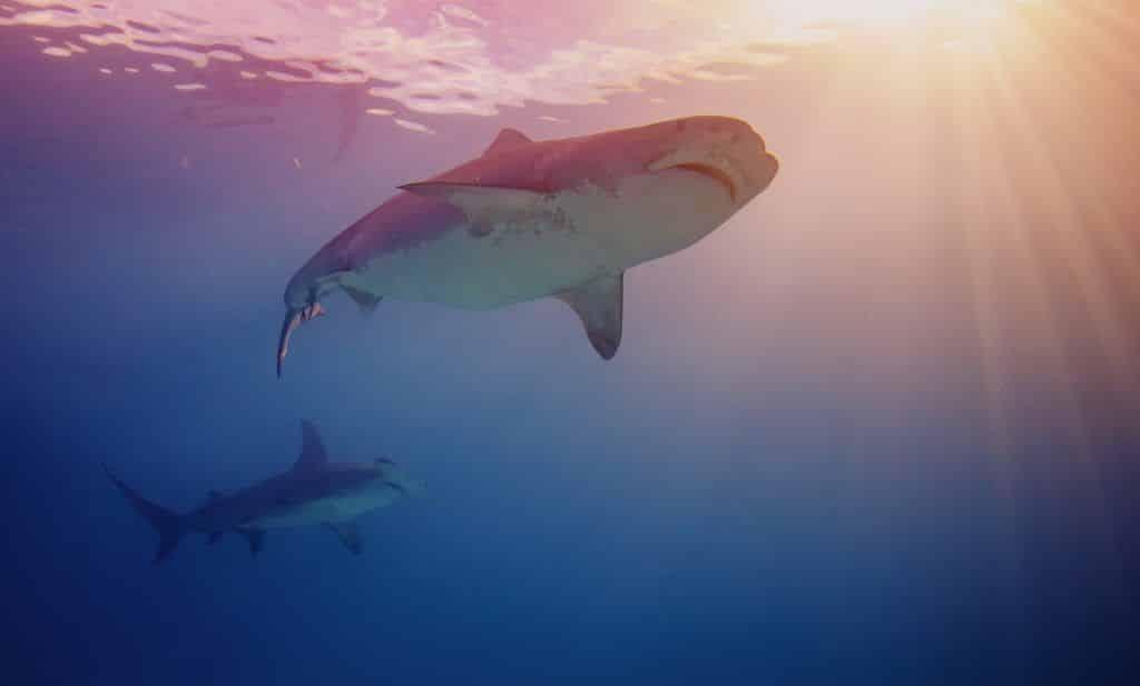 Bullenhaie gehören zu den größten Haiarten. Foto: Pixabay