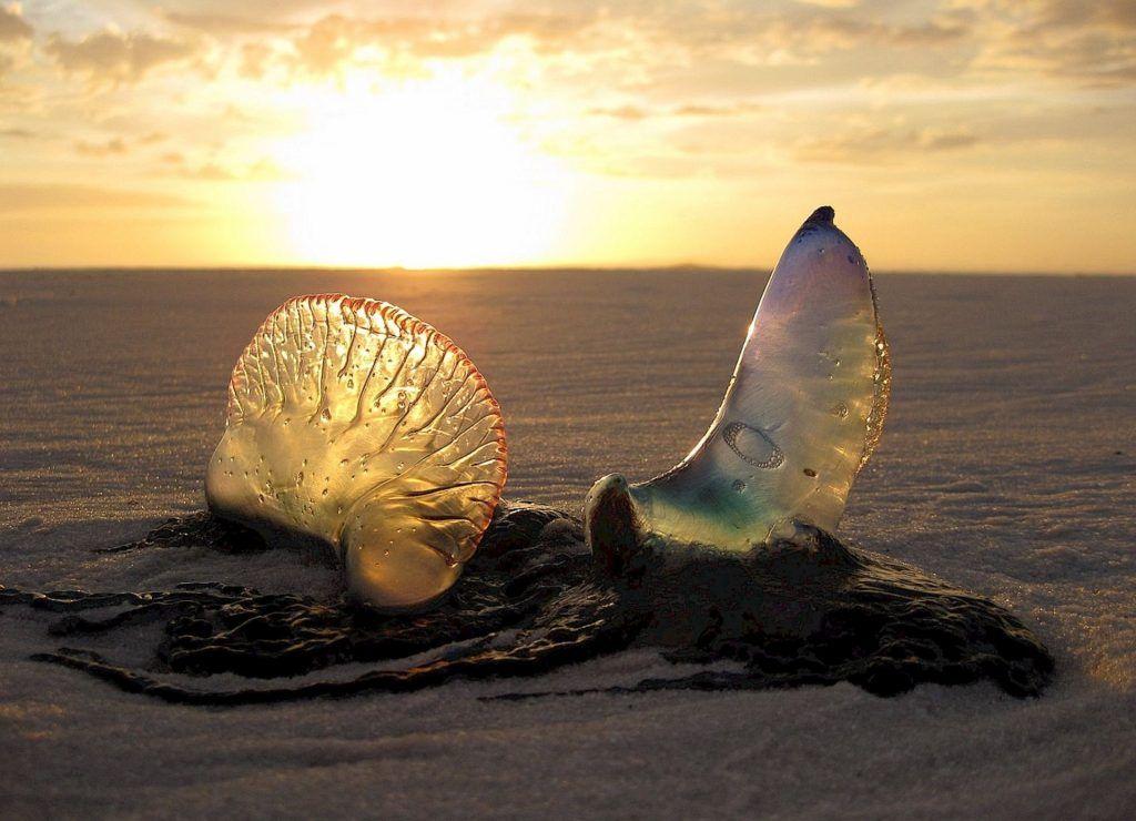 Quallen-Kadaver am Strand: die Portugiesische Galeere ist das gefährlichste Tier im Mittelmeer. Foto: Pixabay