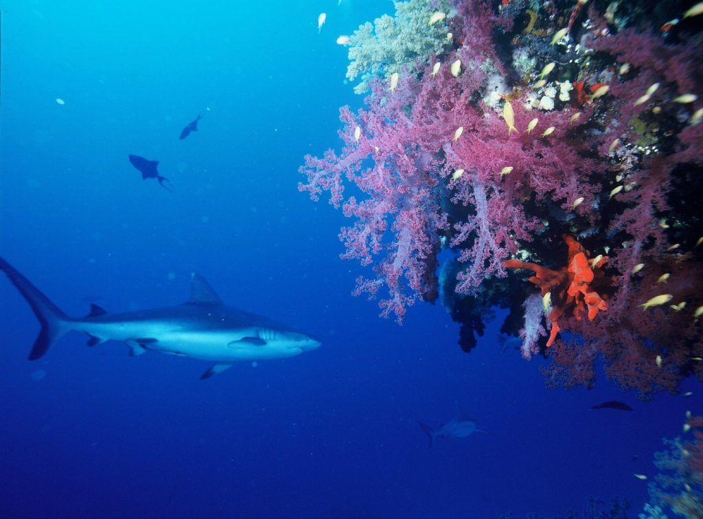 Grauer Riffhai in Aktion: Die Tiere sind sehr neugierig. Foto: Pixabay