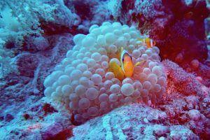 Hallo Nemo: Ein Anemonen-Fisch sitzt auf seiner Behausung. Foto: Sascha Tegtmeyer