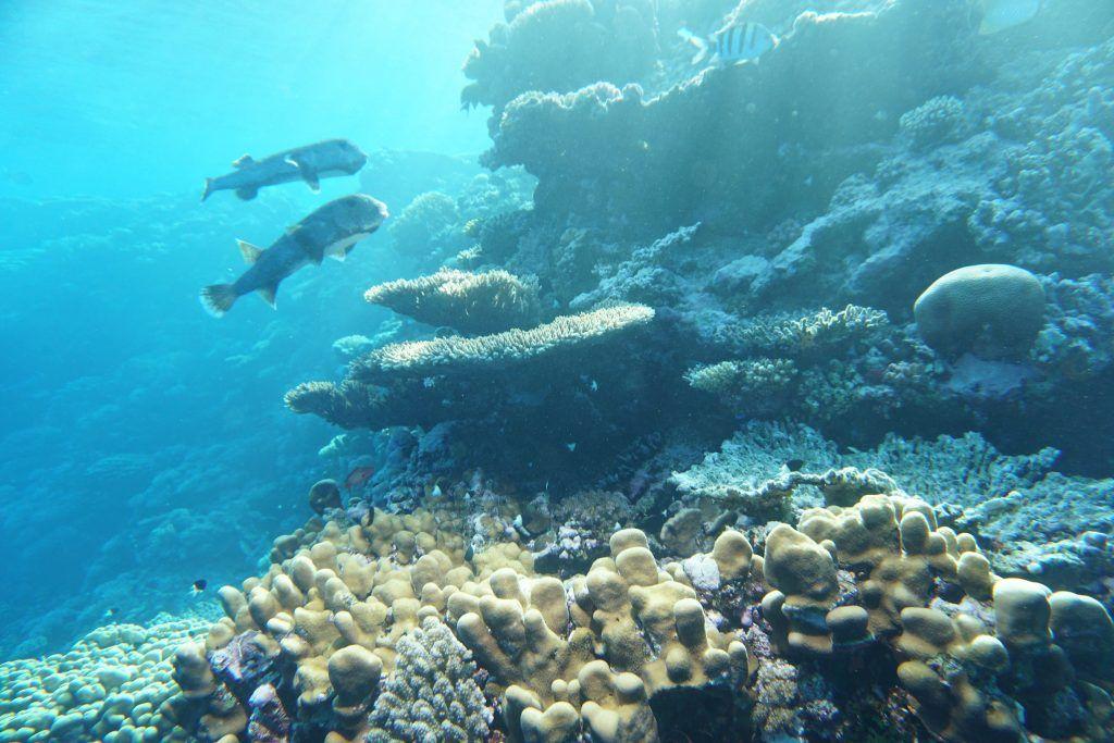 Herrlich: Zwei Kugelfische gleiten am Riff entlang. Foto: Sascha Tegtmeyer