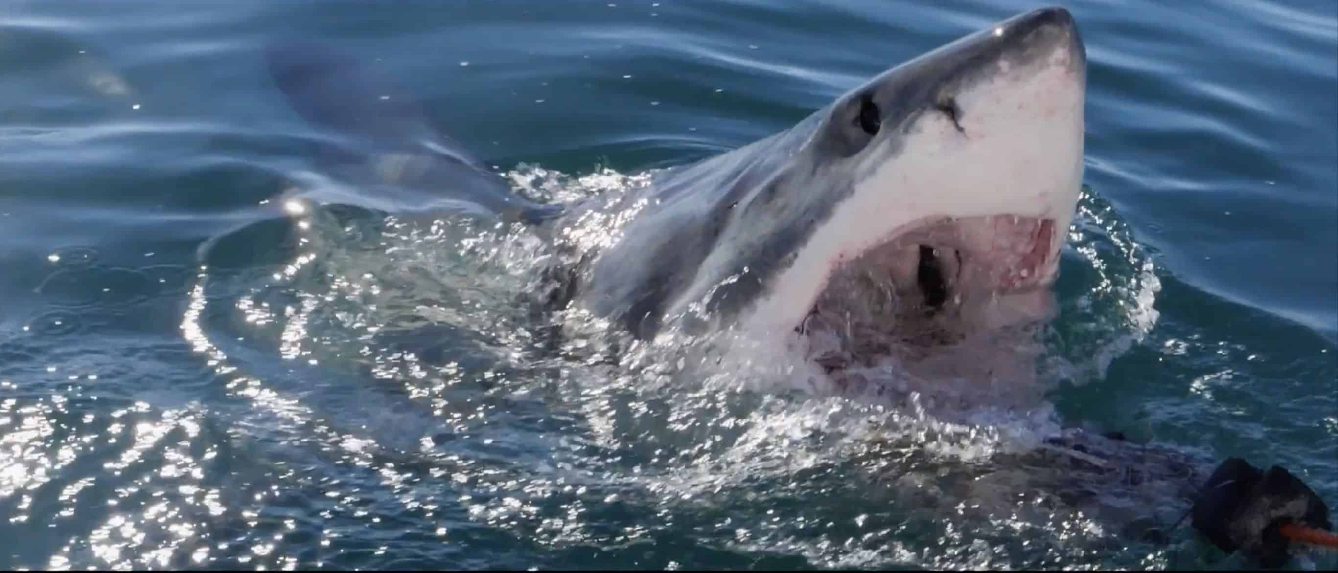 Spektakuläre Aufnahmen von Filmer Dan Abbott: Ein Weißer Hai fliegt durch die Luft. Foto: Youtube
