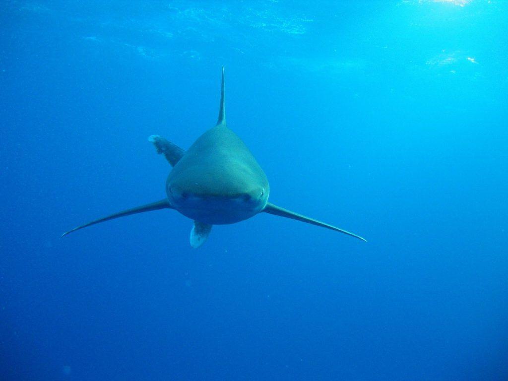 Haie im Roten Meer: Mit einem beherzten Schlag auf die Schnauze des Hais lassen sich die Raubfische in der Regel vertreiben. Foto: Pixabay