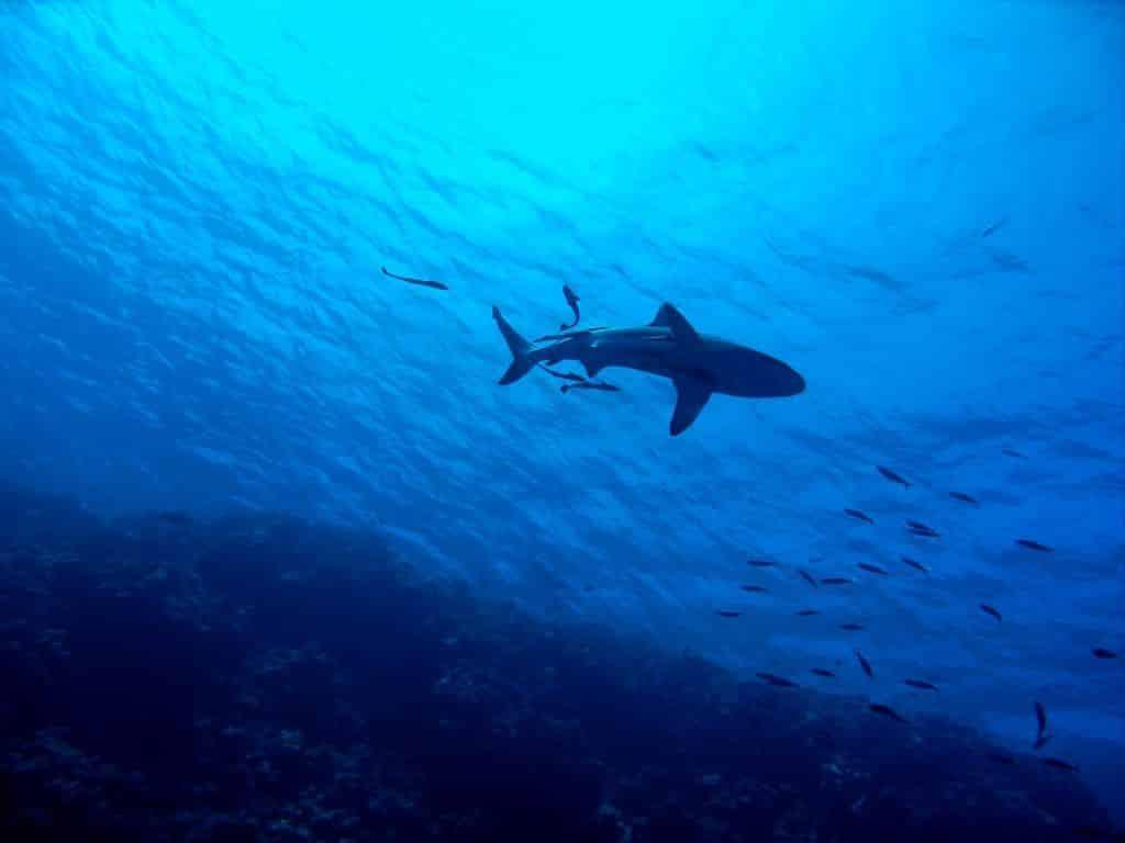 Schwimmer und Schnorchler müssen sich vor Haien im Roten Meer in Acht nehmen – sie könnten mit Beute verwechselt werden. Foto: Pixabay