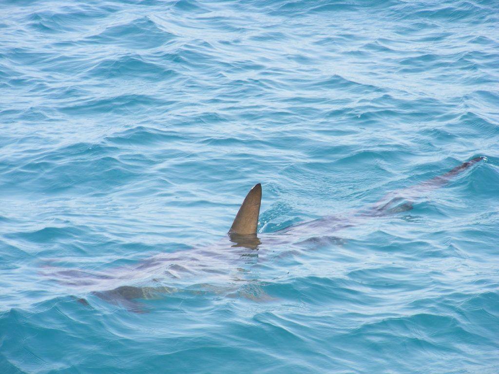 Hammerhaie im Roten Meer kommen relativ häufig vor: Die Tiere kommen eher selten an die Oberfläche. Wer sie sehen in Ägypten sehen will, muss weit an die Außenriffe fahren und tauchen gehen. Foto: Pixabay