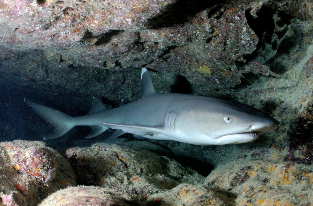 Weißspitzen-Riffhai: Der kleine Raubfisch schläft tagsüber in Höhlen. Foto: Pixabay