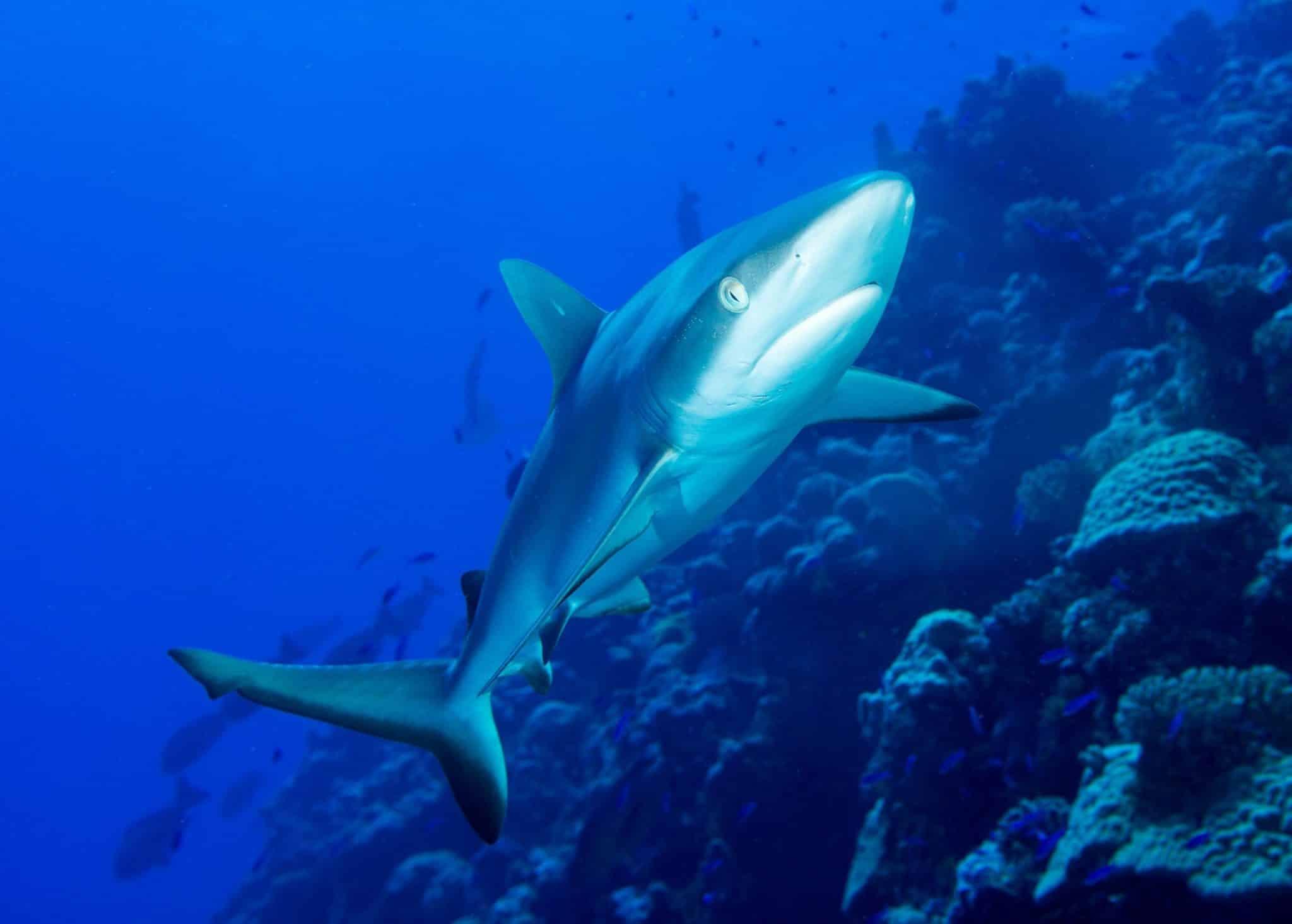 Der Grauhai ist wohl so ziemlich der Standard-Hai, der optisch am ehesten der Vorstellung unserer Vorstellung von dem Raubfisch entspricht – wer beim Tauchen in Ägypten einen Grauhai zu Gesicht bekommt, hat großes Glück! Foto: Unsplash