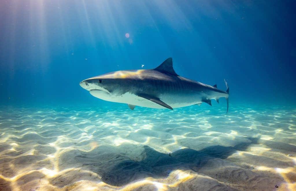 Der Tigerhai kommt auch im Roten Meer vor – neben dem Bullenhai und dem Longimanus gilt er tatsächlich als relativ gefährlich für Menschen – besonders für Schwimmer und Schnorchler. Foto: Unsplash