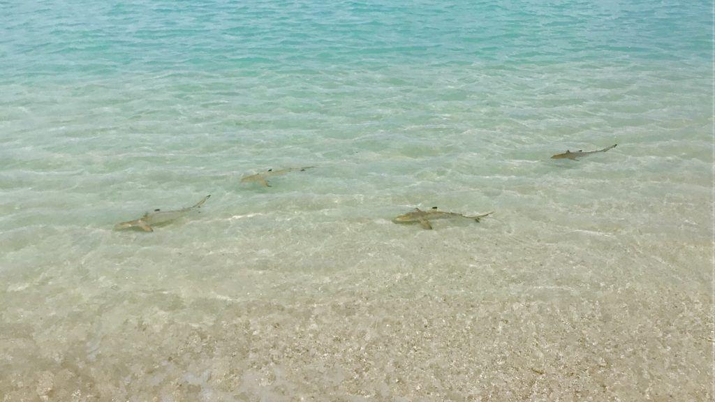 rAm Steg der Insel schwimmen Baby-Haie. Foto: Sascha Tegtmeyer eisebericht coco bodu hithi malediven erfahrungen