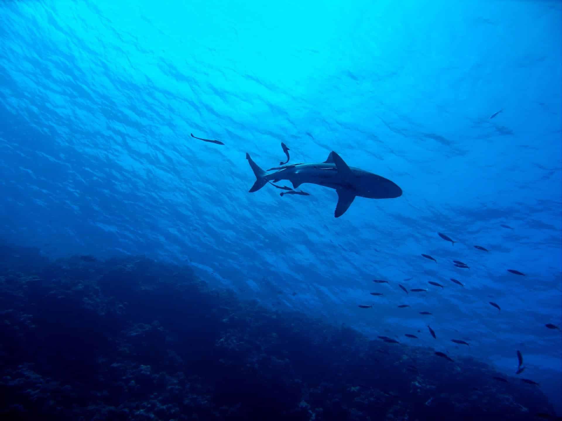 Die Raubfische sind weltweit vom Aussterben bedroht – auf den Malediven kommen Haie noch relativ häufig vor! Foto: Pixabay