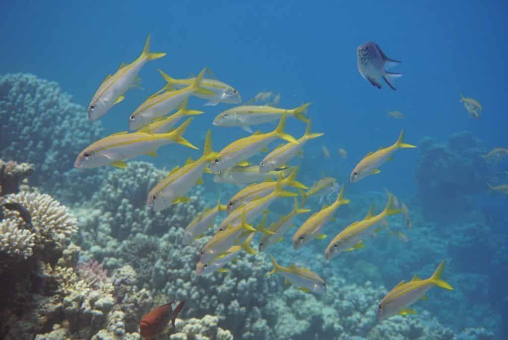 Fische am Riff: Tauchen und Schnorcheln in Safaga ist einfach ein Abenteuer! Foto: Sascha Tegtmeyer