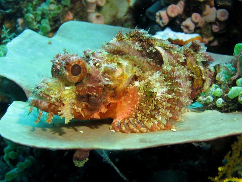 Eine Berührung mit dem Steinfisch kann schmerzhaft bis tödlich enden! Foto: Pixabay