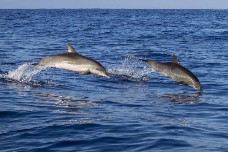 Delfintouren und Whale Watching auf Madeira: Große Tümmler gibt es eigentlich fast auf jeder Tour zu sehen! Foto: Pixabay
