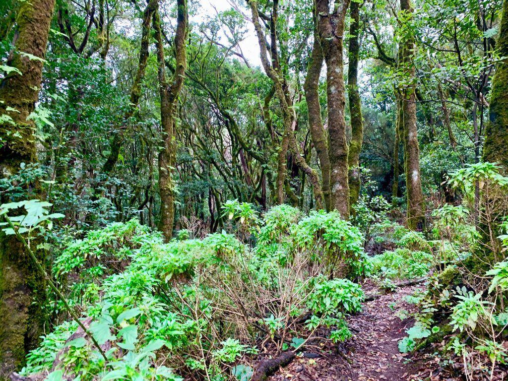 """""""Lorbeerwald"""": Der Mercedeswald im Anaga-Gebirge im Nordosten von Teneriffa. Foto: Sascha Tegtmeyer"""