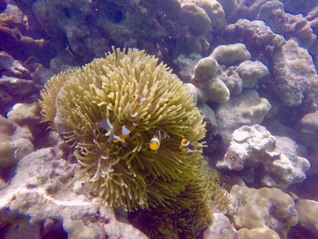 Anemonenfische: In Thailand könnt Ihr ebenfalls unzählige Meerestiere beim Schnorcheln entdecken. Foto: Sascha Tegtmeyer