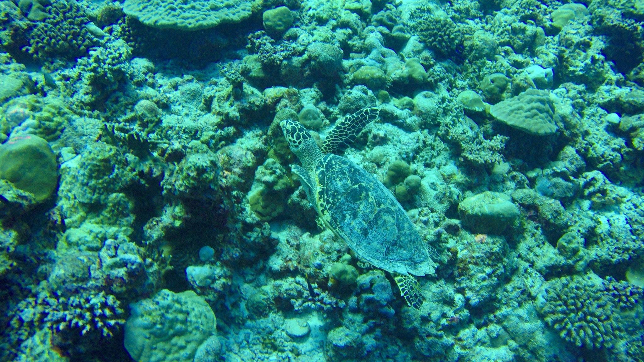 Schildkröten sind auf Coco Bodu Hithi allgegenwärtig – auch beim Schnorcheln in der Lagune und am Hausriff sind sie zu finden. Foto: Sascha Tegtmeyer Reisebericht Coco Bodu Hithi Malediven Erfahrungen