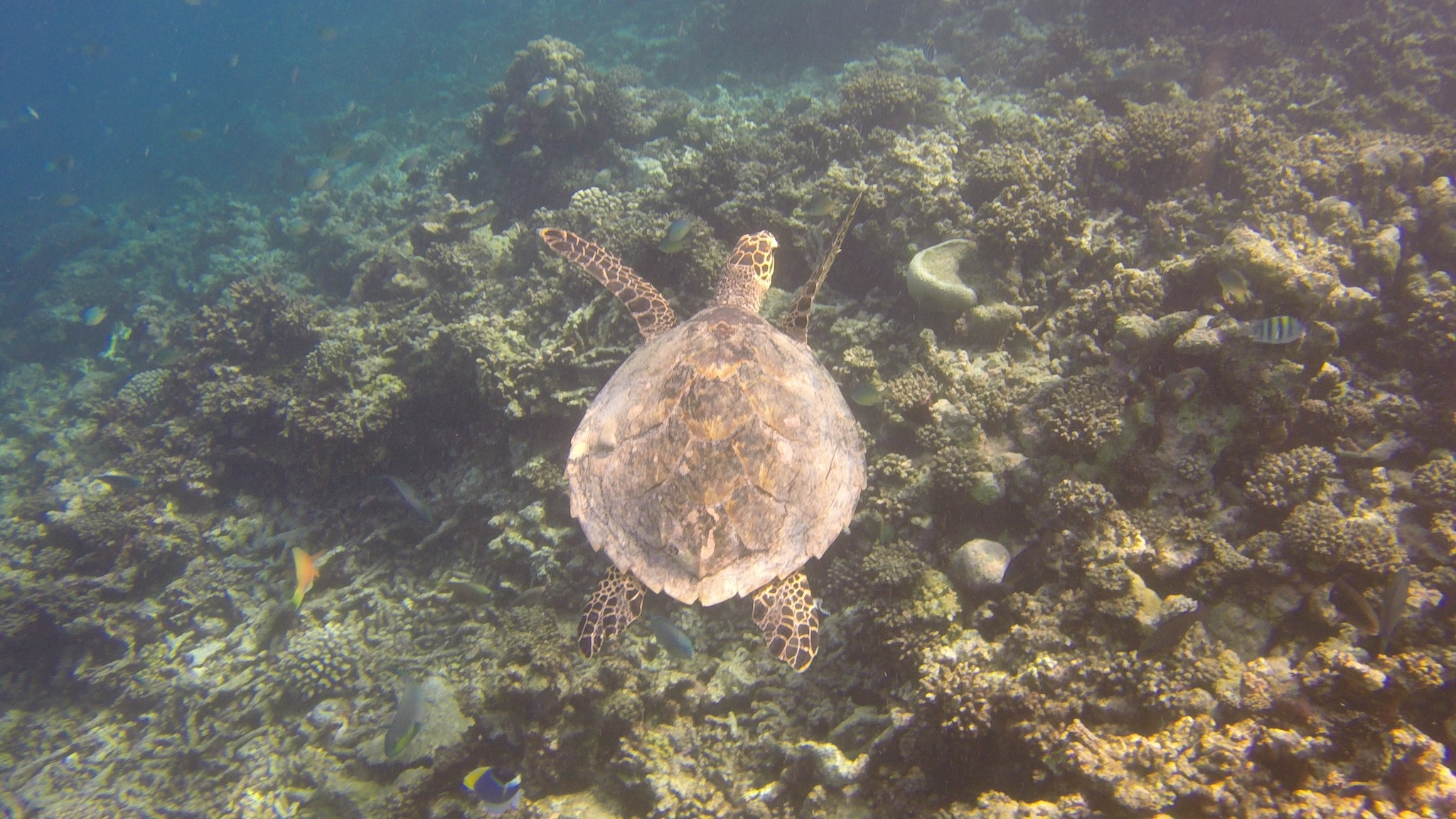 Pack deine Unterwasserkamera – oder Gehäuse für das Smartphone ein – es gibt unzähliige Schildkröten zu fotografieren. Foto: Sascha Tegtmeyer Reisebericht Coco Bodu Hithi Malediven Erfahrungen