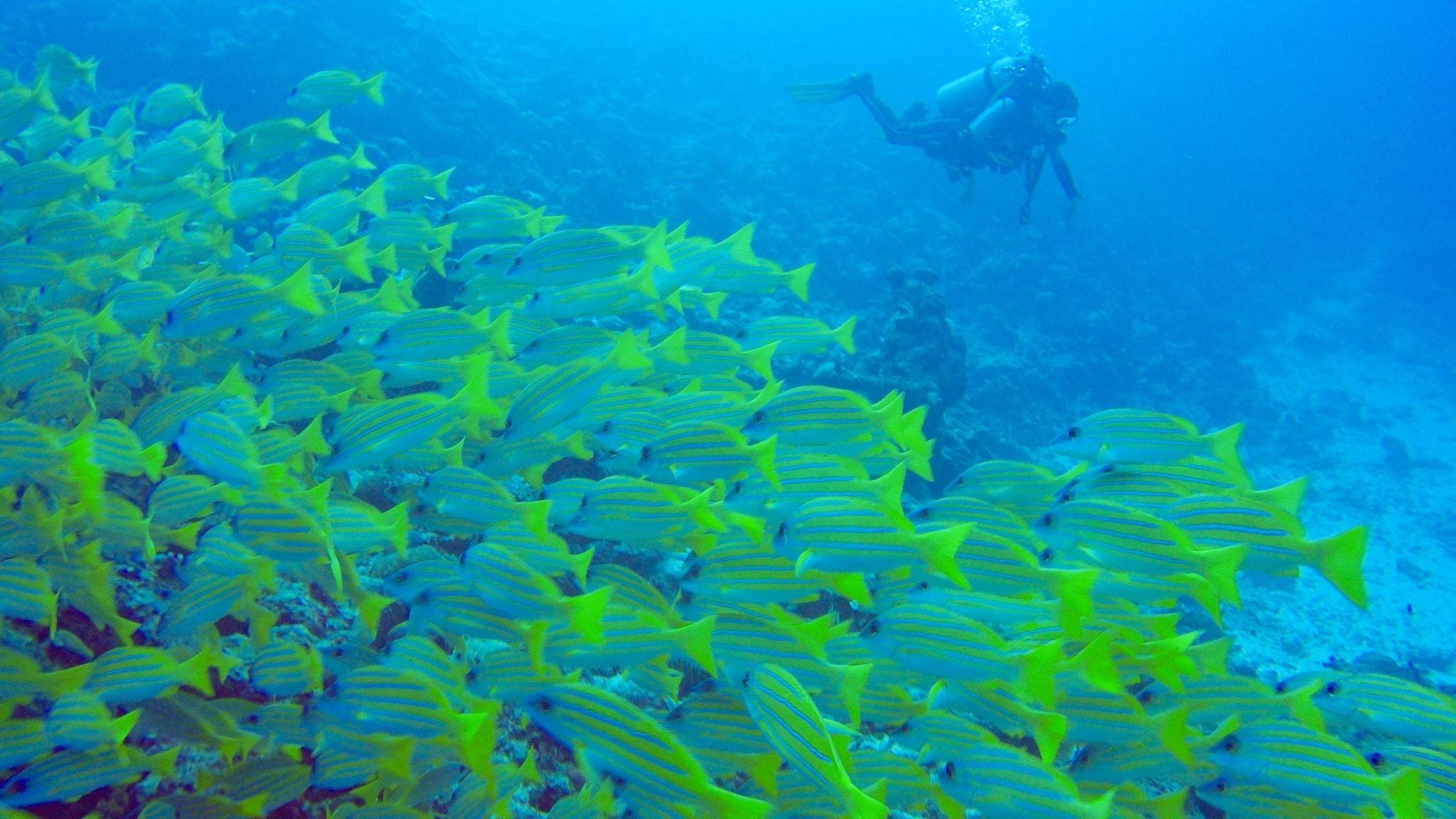 Hin und wieder findest du beim Tauchen auf den Malediven auch einen richtig großen Fischschwarm. Foto: Sascha Tegtmeyer Reisebericht Coco Bodu Hithi Malediven Erfahrungen