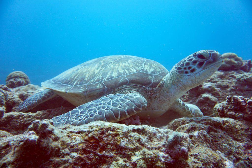 Beim Tauchen auf Mauritius könnt Ihr vielerorts Schildkröten entdecken. © Sascha Tegtmeyer