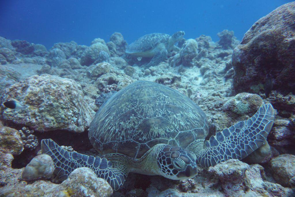 Beim Tauchen und Schnorcheln auf Mauritius könnt Ihr zahlreiche Meeresschildkröten entdecken. © Sascha Tegtmeyer
