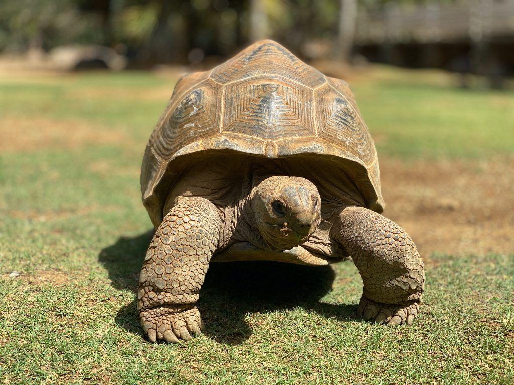 Vielerorts kann man auf Mauritius Riesenschildkröten beobachten – wir waren im La Vanille Nationalpark auf Entdeckungstour mit den urzeitlichen Riesen. © Sascha Tegtmeyer
