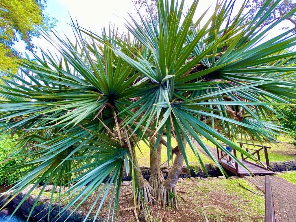 Riesiger Drachenbaum: die Vegetation ist auf der Insel einfach unheimlich vielfältig. © Sascha Tegtmeyer