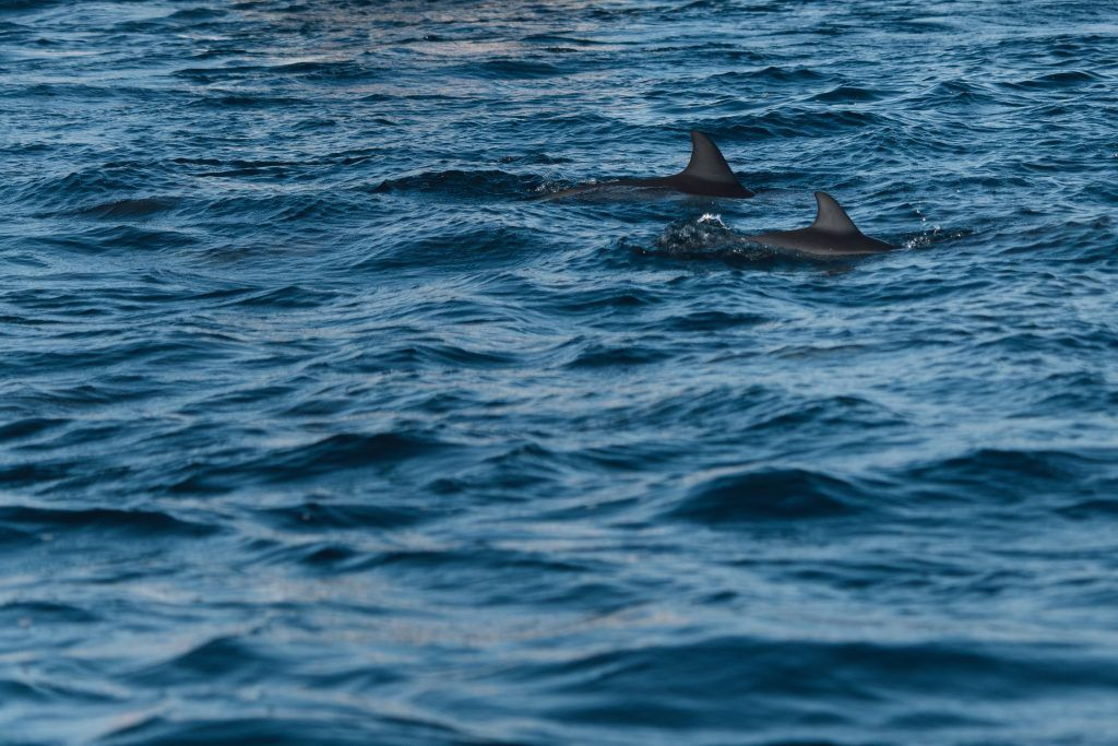 delfine mauritius schwimmen schnorcheln erfahrungen flic en flac Schwimmen mit Delfinen auf Mauritius: unsere Erfahrungen bei einer spektakulären Begegnung