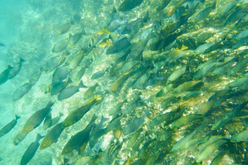 Reichlich Fische gibt es am Shark Point von Koh Phi Phi – nur leider hat sich kein Hai blicken lassen. Foto: Sascha Tegtmeyer