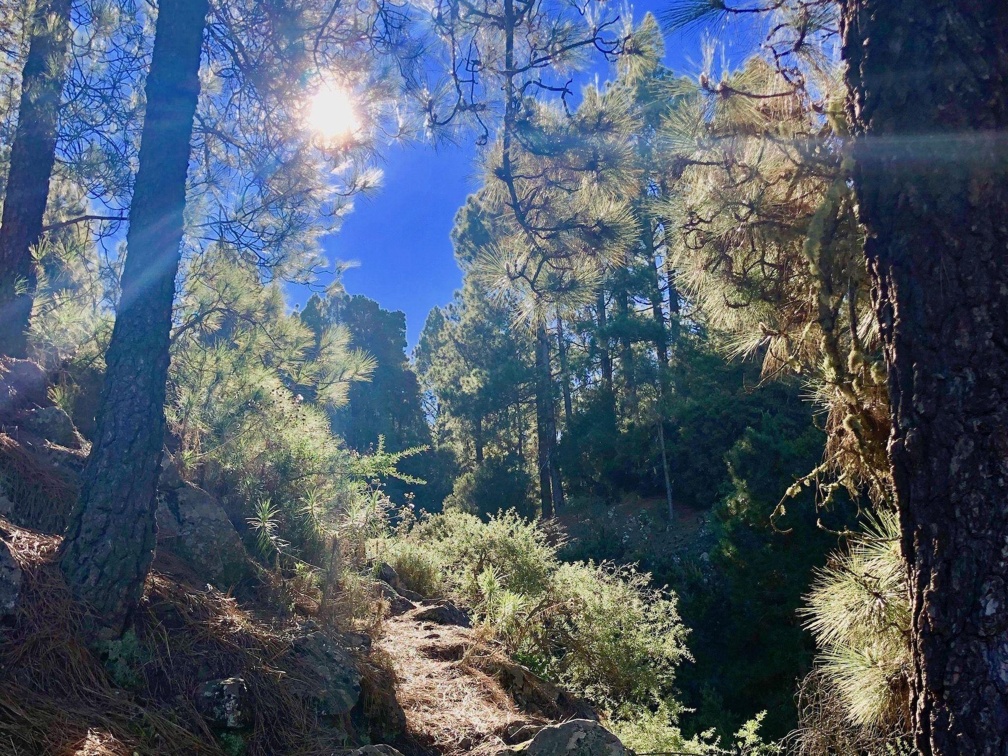 Auf Teneriffa gibt es ausgedehnte Nadelwälder – die ein wenig an Kanada oder Skandinavien erinnern. Foto: Sascha Tegtmeyer