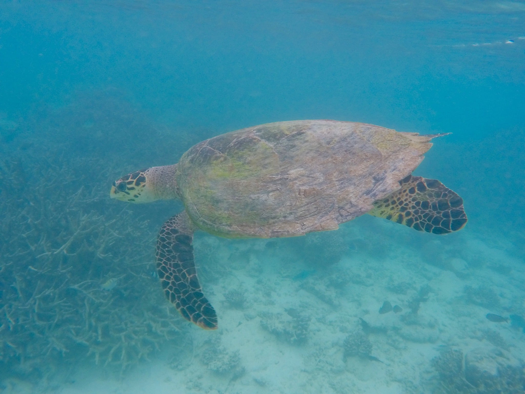 Direkt vor meiner Strandvilla in der Lagune ist mir beim Schnorcheln eine Schildkröte begegnet – wir sind etwa 30 Minuten zusammen geschwommen, bevor sie wieder verschwunden ist. Foto: Sascha Tegtmeyer Reisebericht Malediven Tipps
