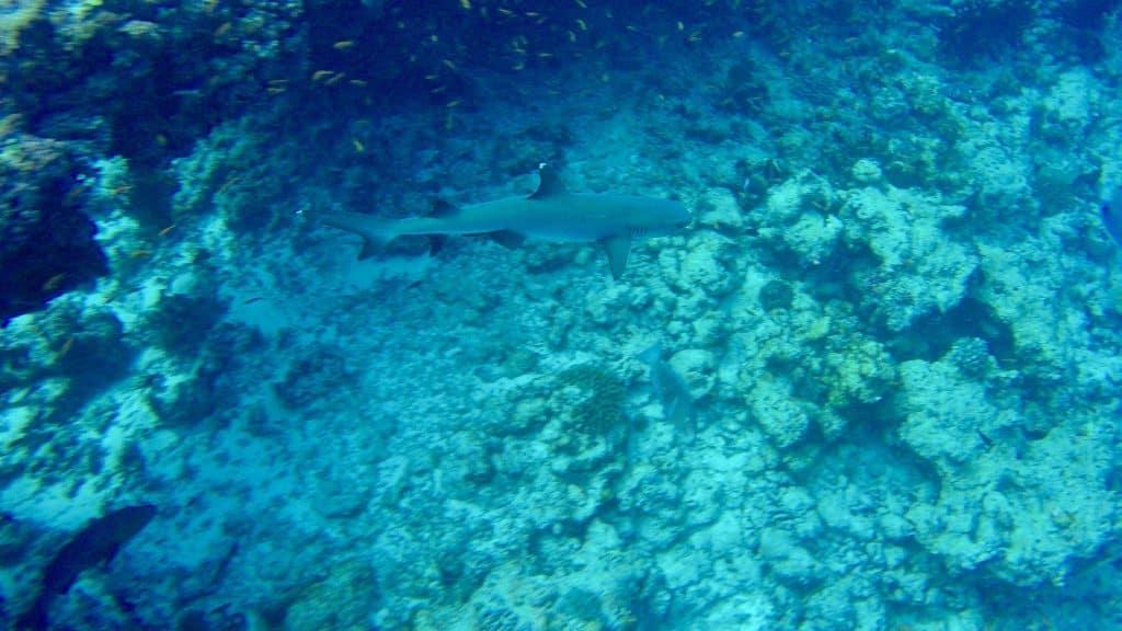 Beim Tauchen auf den Malediven kann man überall Haien begegnen. Foto: Sascha Tegtmeyer Reisebericht Malediven Tipps