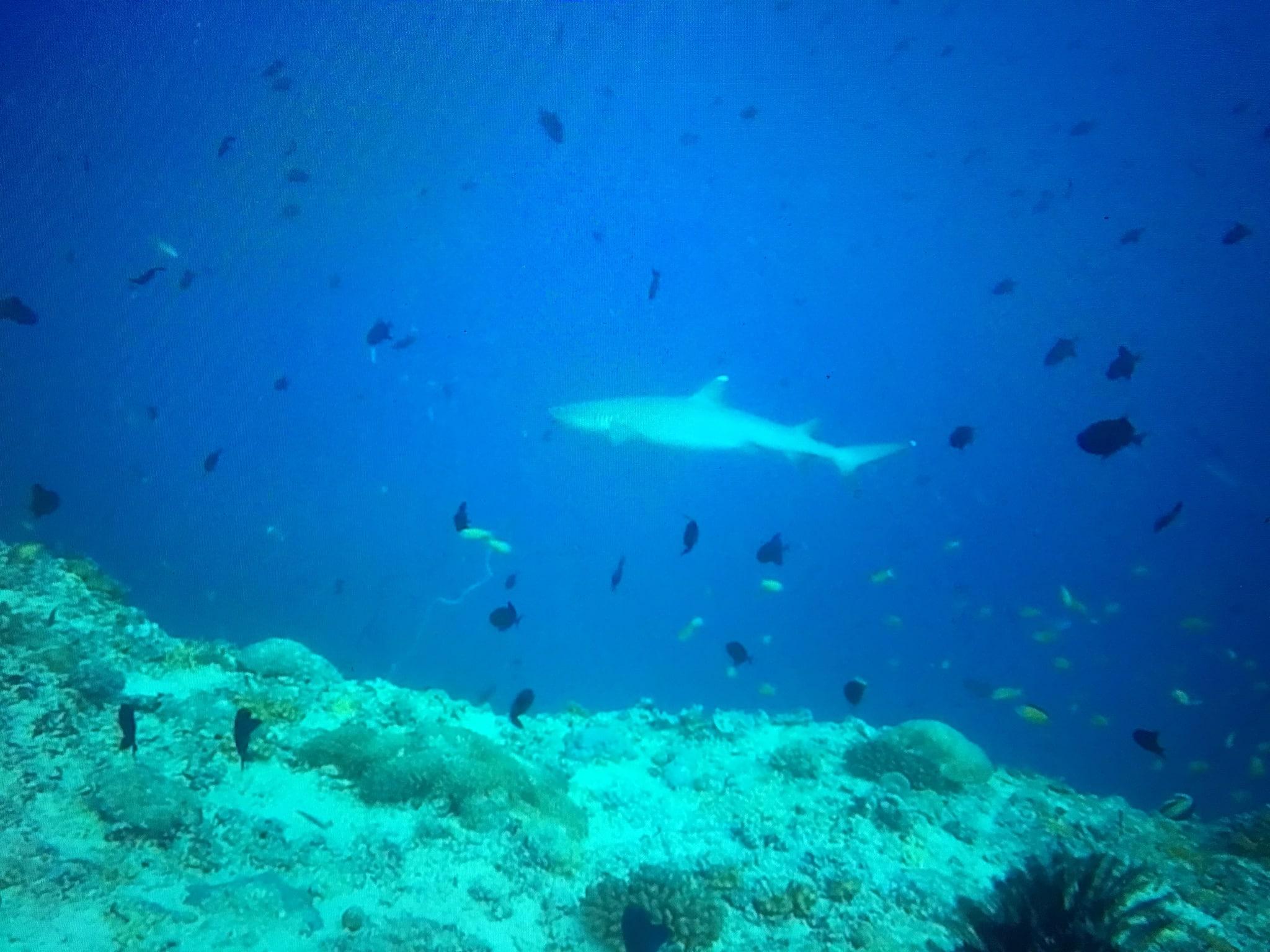 Ein Hai aus der Ferne beim Tauchen fotografiert – wer an den richtigen Tauchplätzen ins Wasser geht, kann dutzende Tiere beobachten. Foto: Sascha Tegtmeyer Reisebericht Malediven Tipps