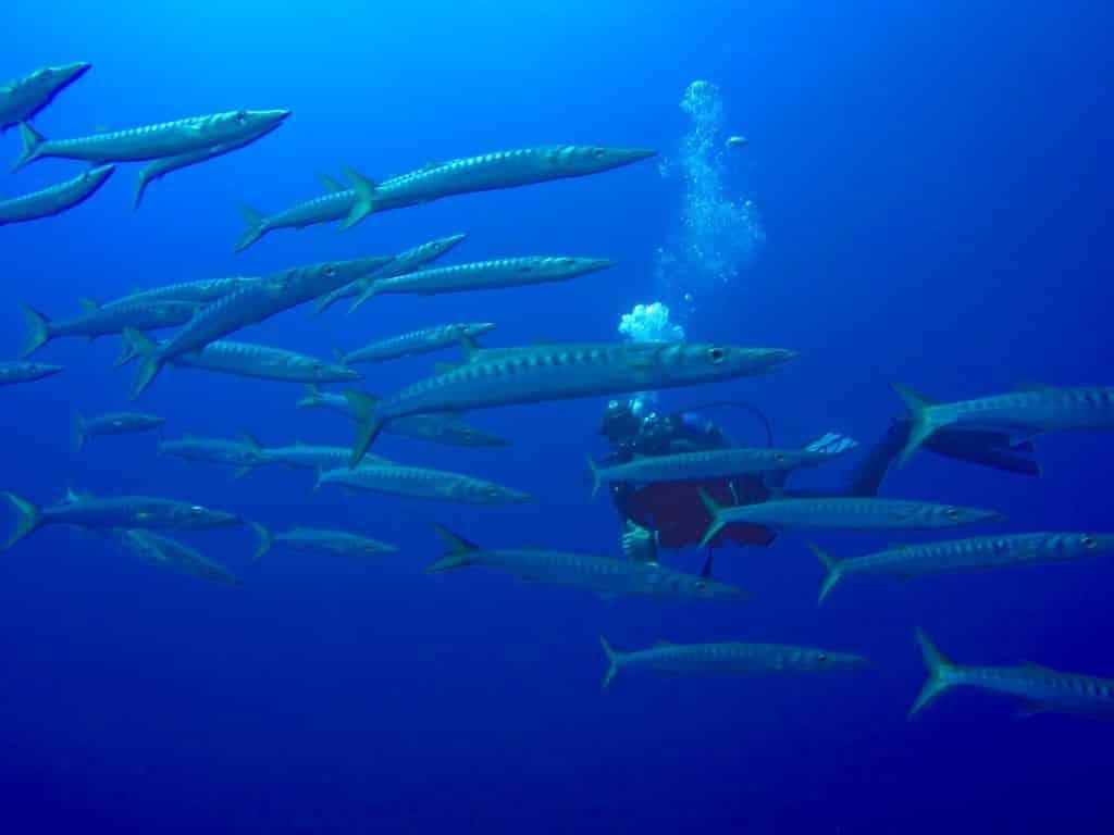 Beim Tauchen auf Mallorca kann man Barrakudas und vielen weiteren Meerestieren begegnen. Foto: Sascha Tegtmeyer