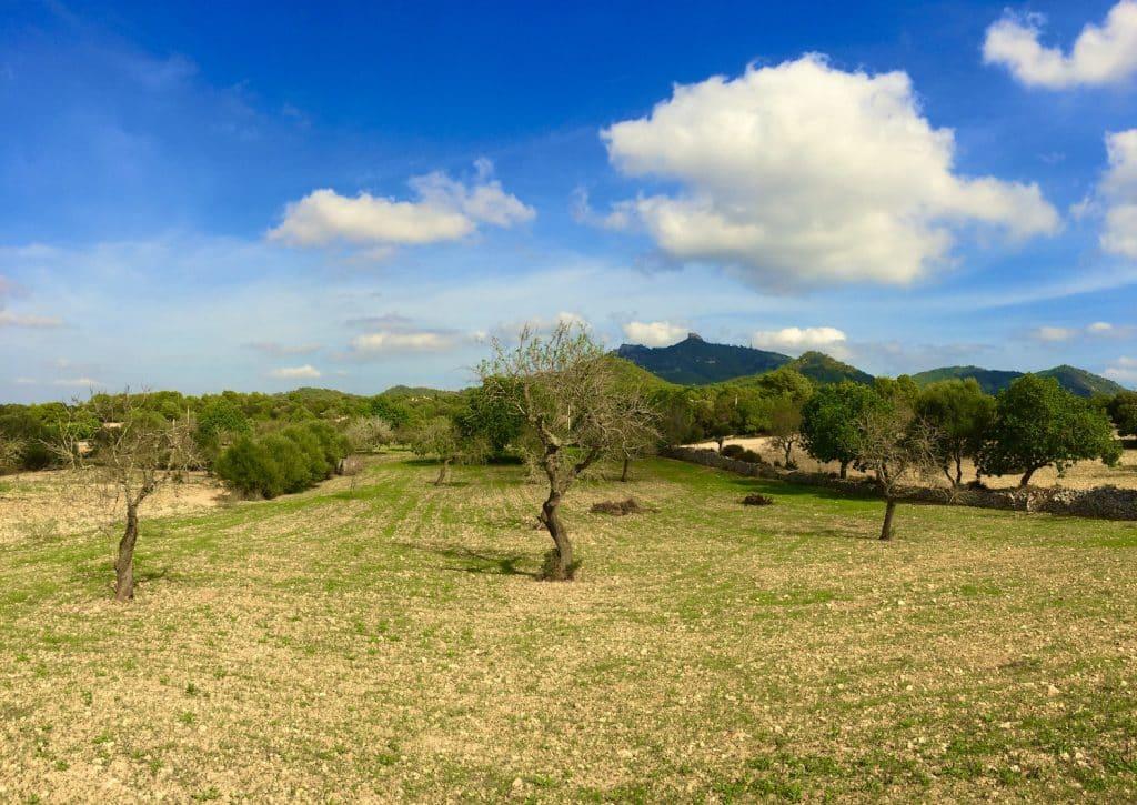 Olivenbaum im Landesinneren von Mallorca – die Insel ist unglaublich vielseitig. Foto: Sascha Tegtmeyer