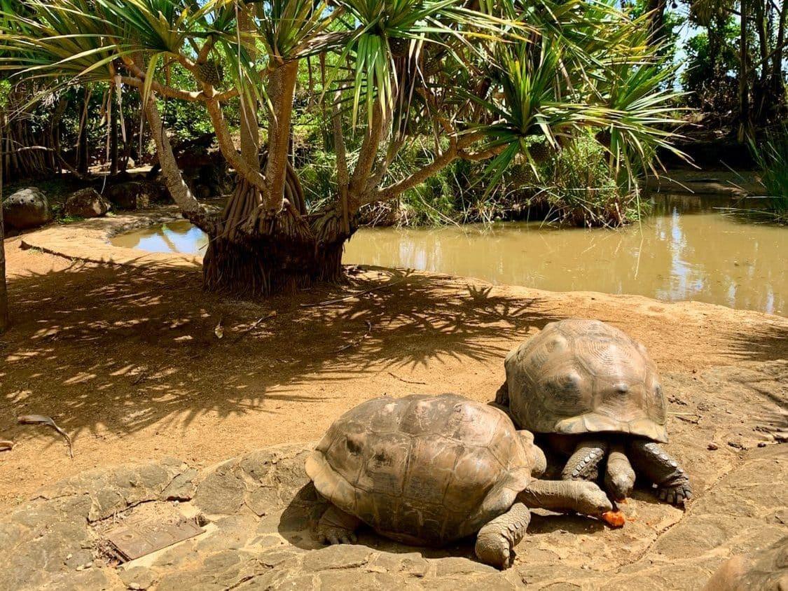 Im La Vanille Naturpark kann man sich die Aldabra Riesenschildkröten ganz aus der Nähe anschauen. © Sascha Tegtmeyer