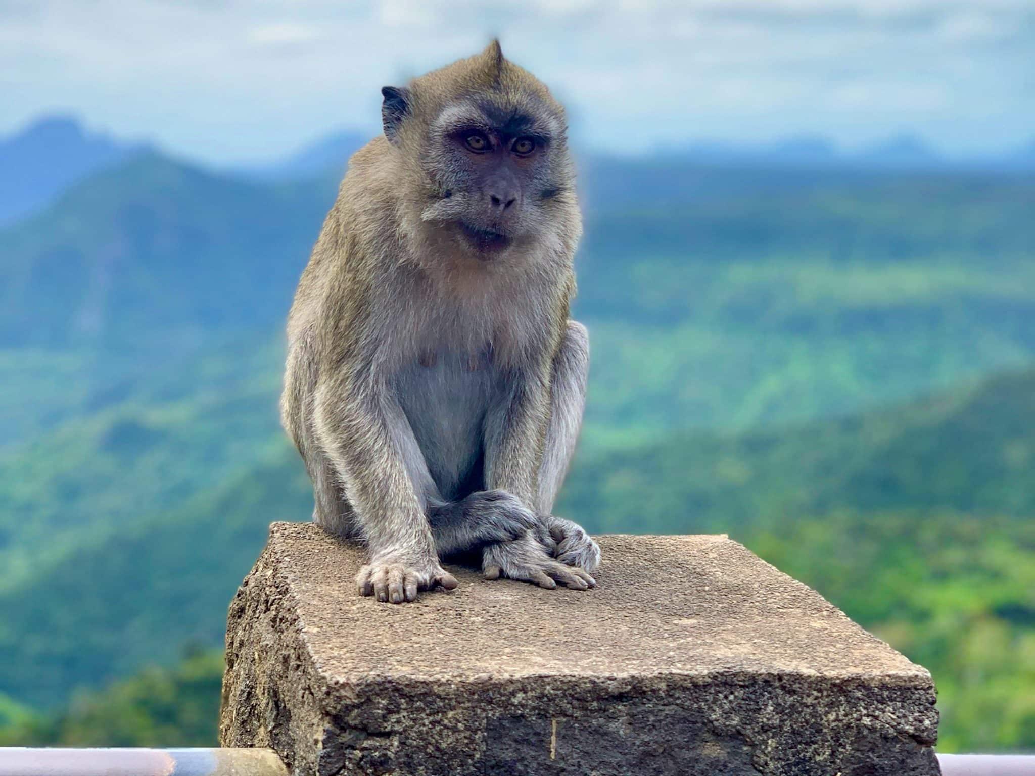 Auf Mauritius gibt es in den Wäldern noch freilebende Affen.